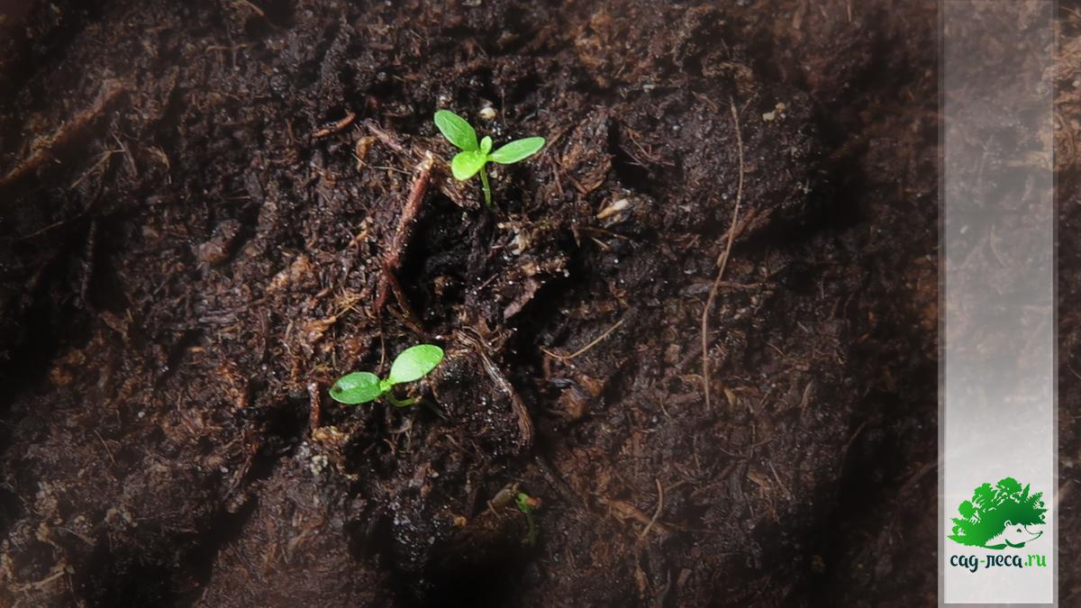Рододендрон Ледебура из семян