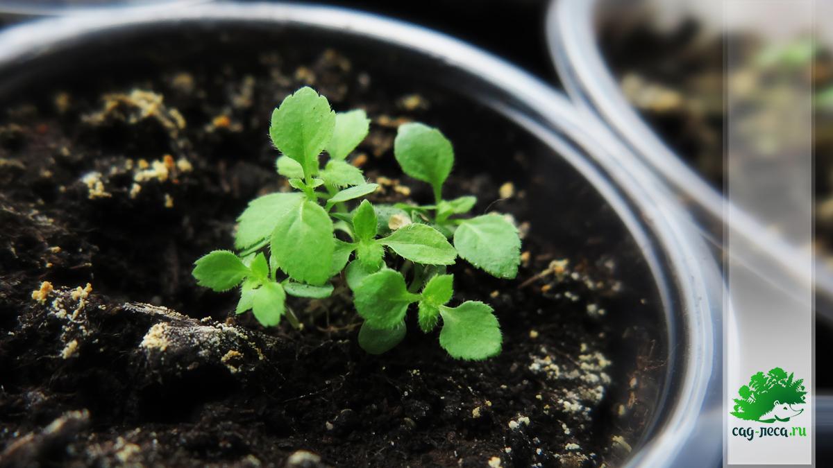 Сеянцы вейгелы ранней из семян
