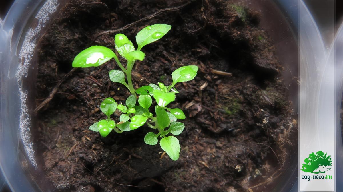 сеянцы гортензии метельчатой из семян