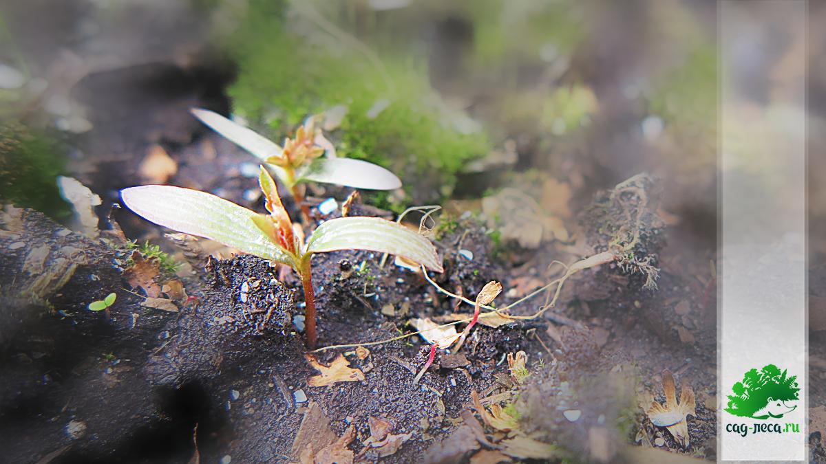 ПК63 Всходы калины Саржента в посевной грядке весной второго года