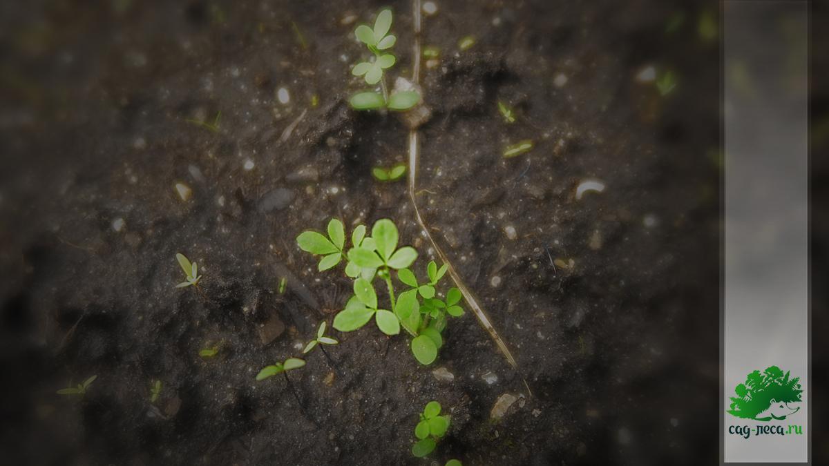 ростки ракитничка Линдемана из семян
