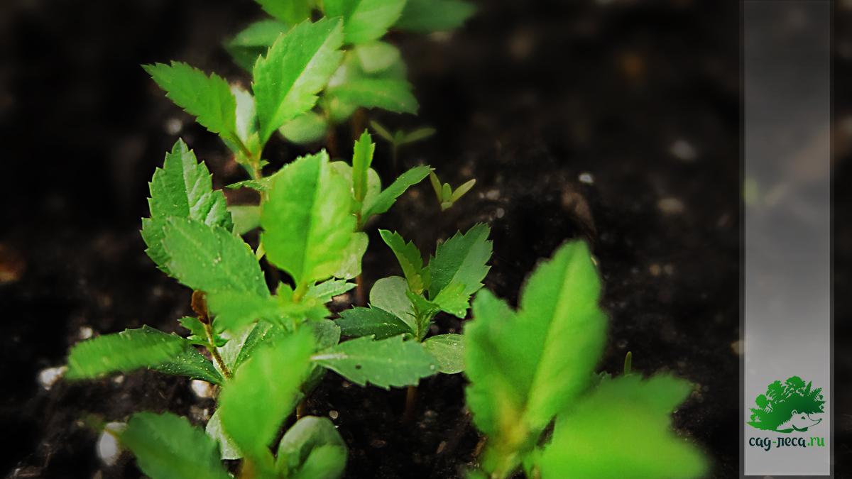 всходы айвы японской из семян