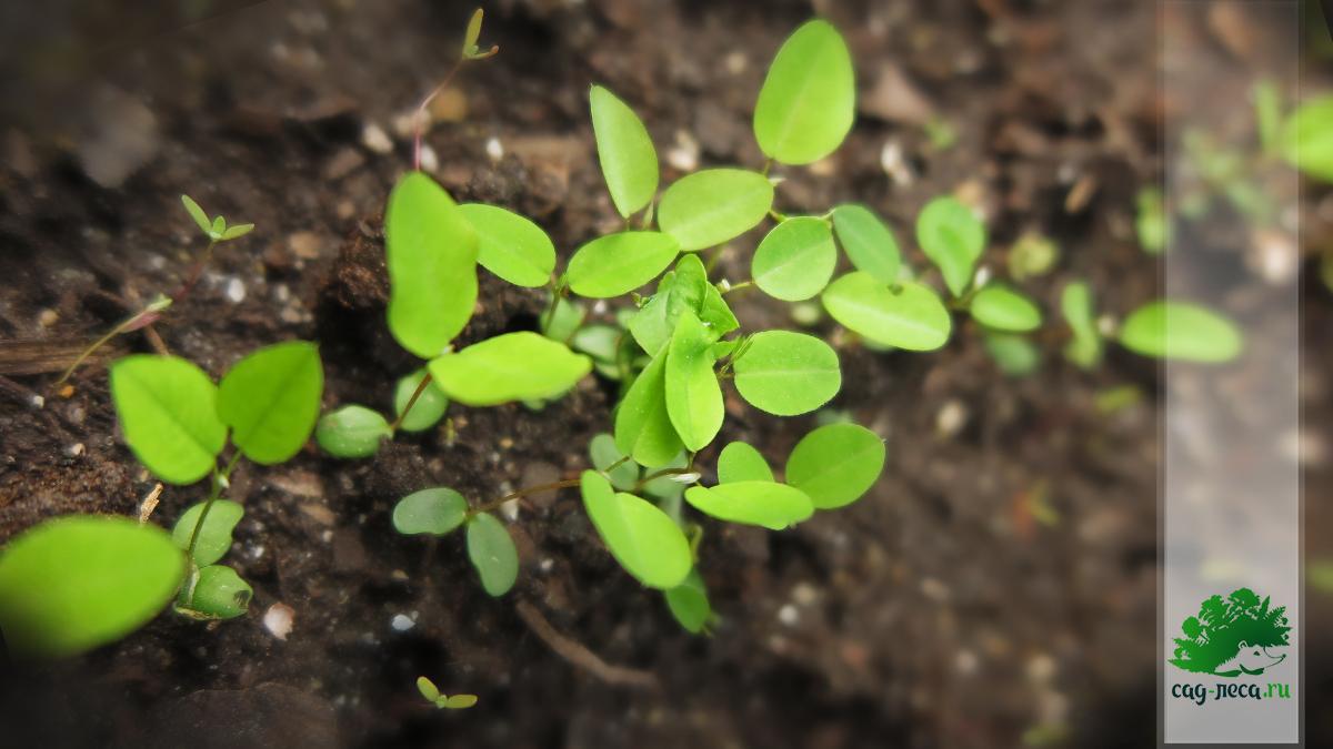 ростки леспедецы двухцветной из семян