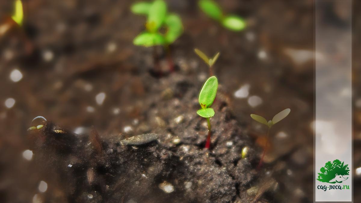 ростки желтинника из семян