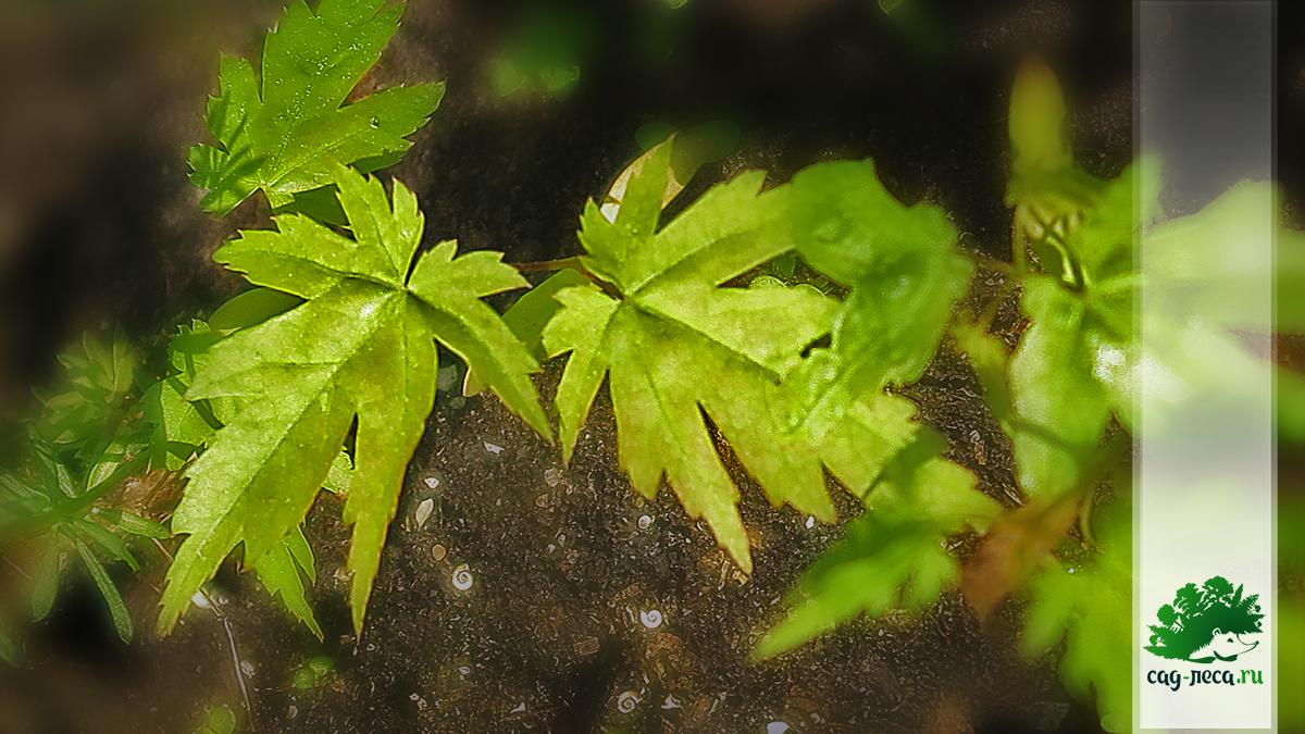 всходы клёна ложнозибольдового из семян