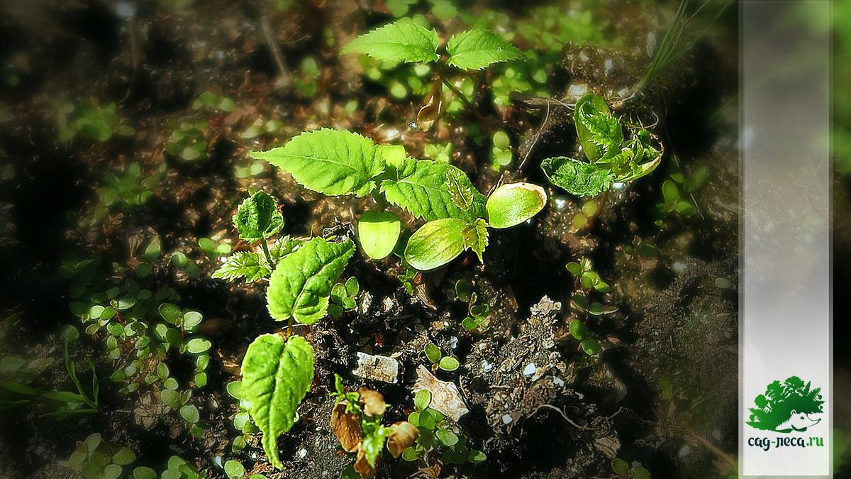всходы клёна зеленокорого из семян
