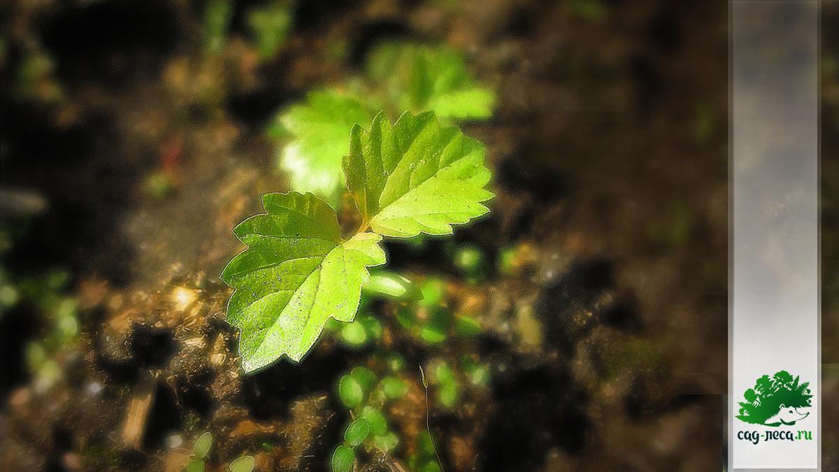 ростки калины Саржента из семян