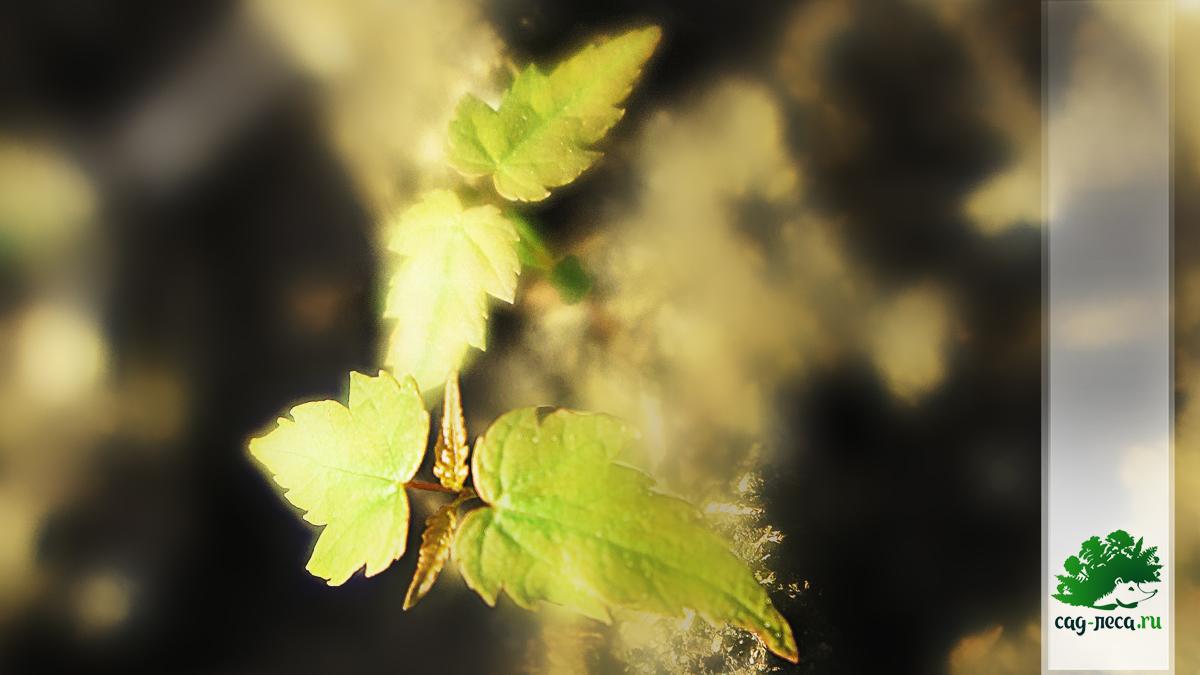 всходы клёна красного из семян