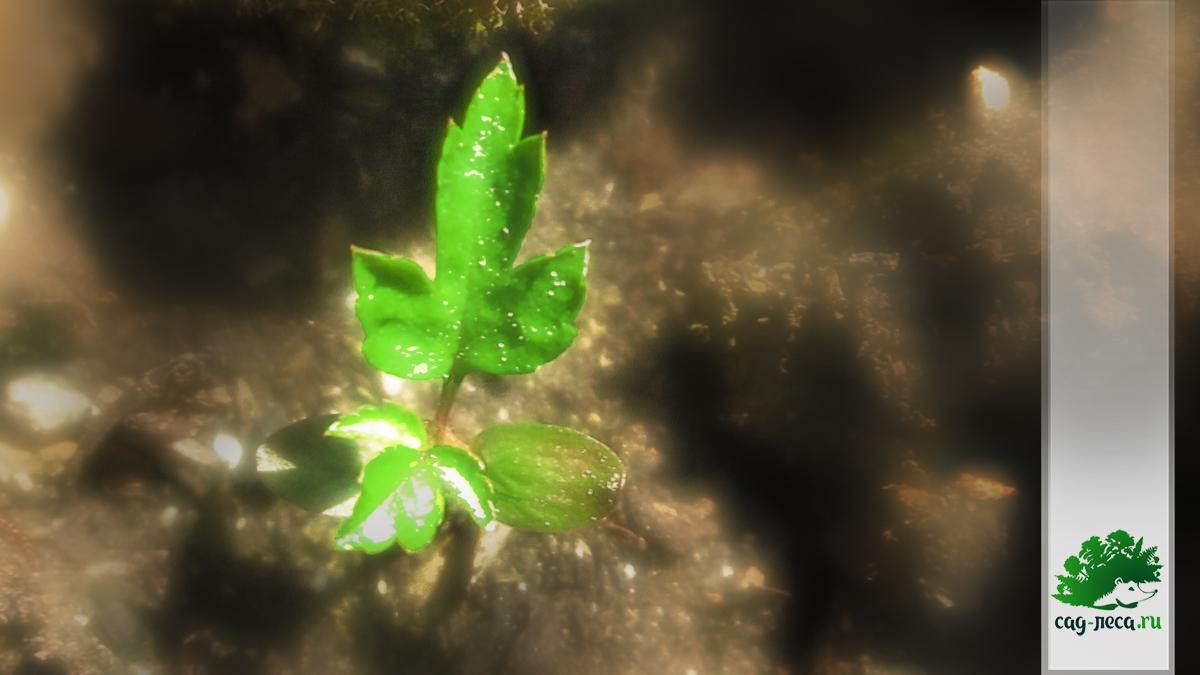 всходы рябины бузинолистной из семян