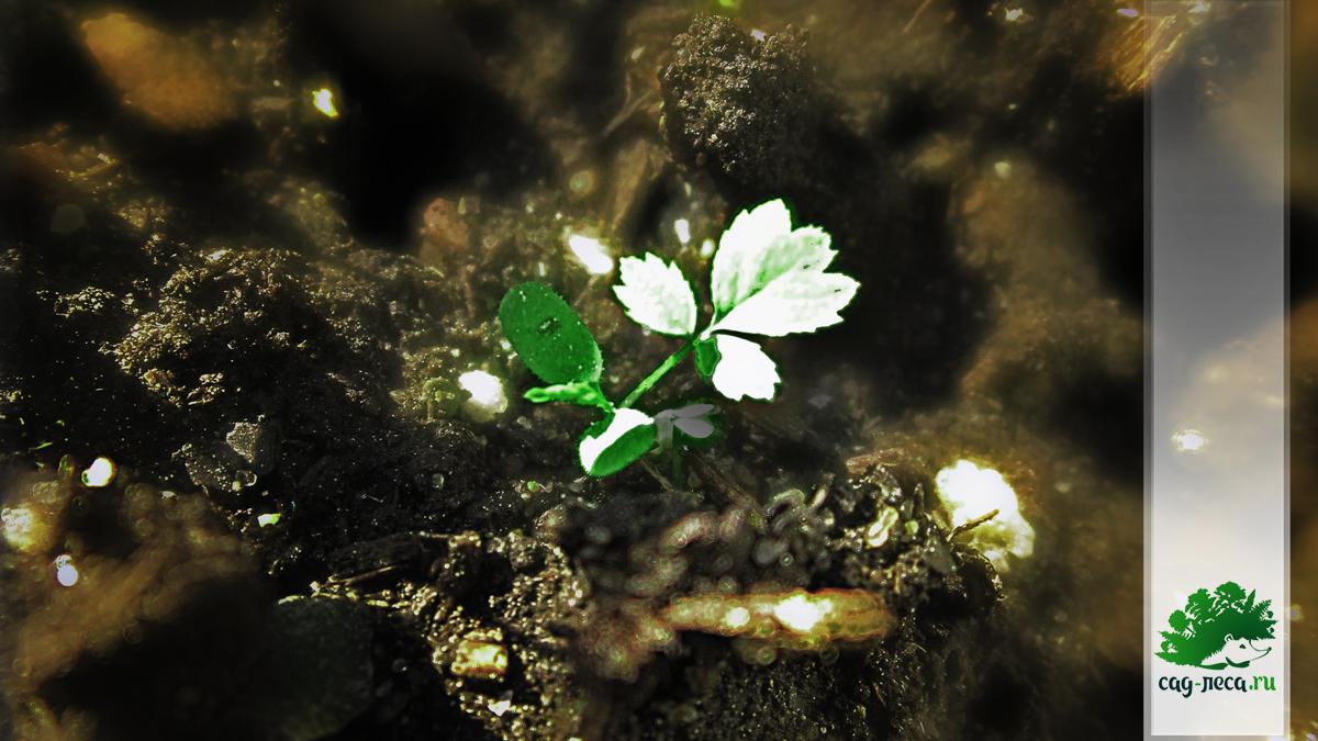 всходы розы майской из семян