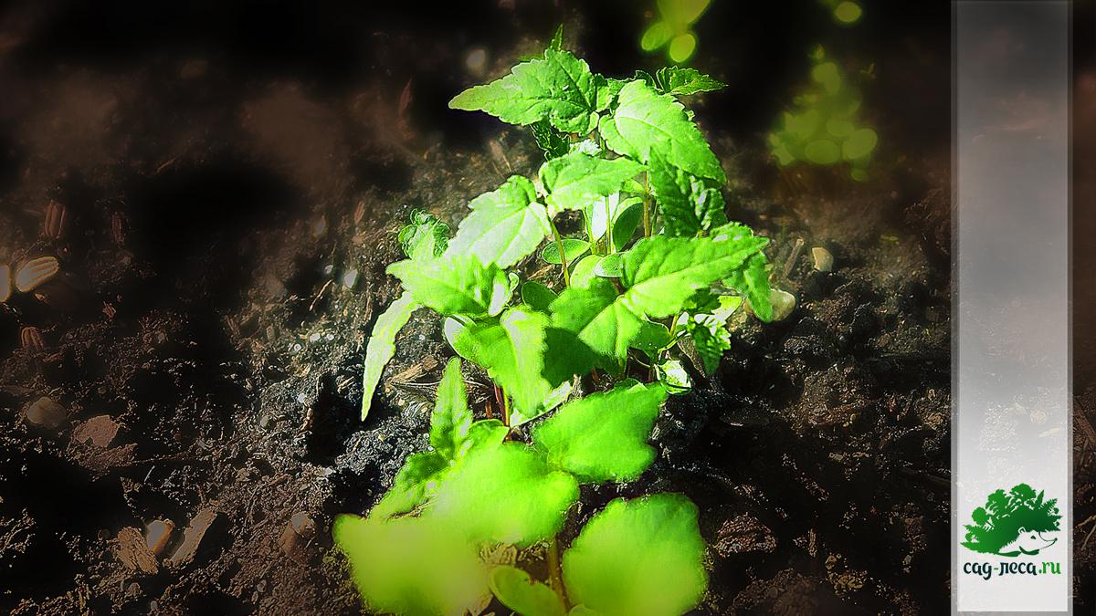 всходы клена Гиннала приречного из семян