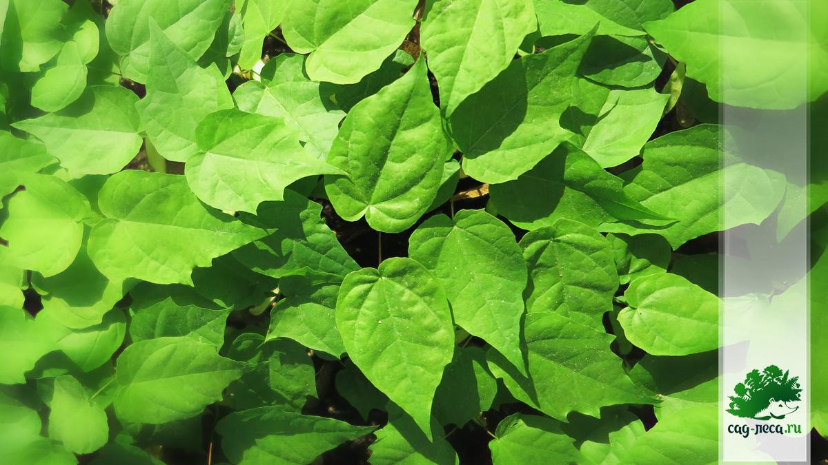 всходы клена остролистного из семян