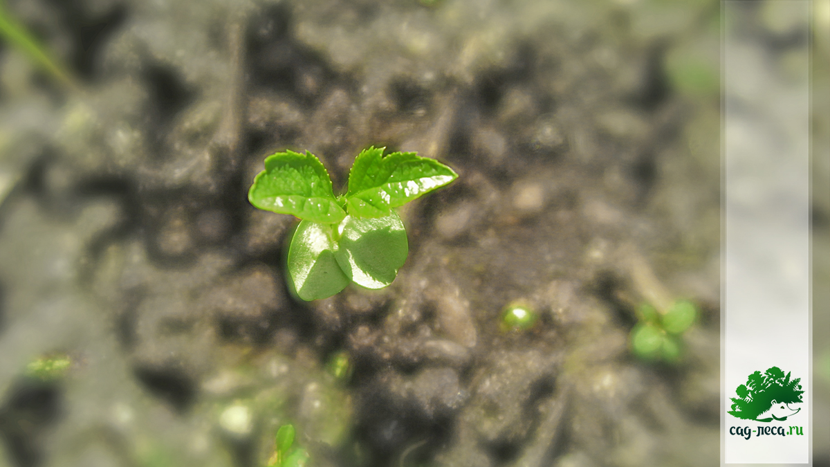 яблоня Антоновка из семян