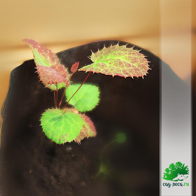 саженцы барбариса амурского из семян