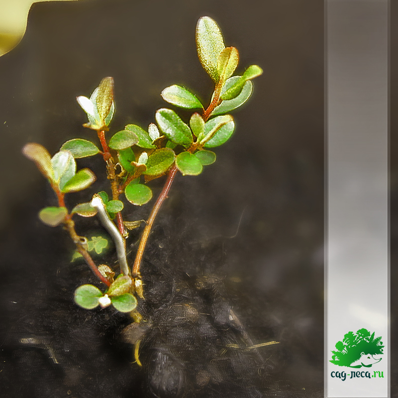 саженцы рододендрона даурского из семян