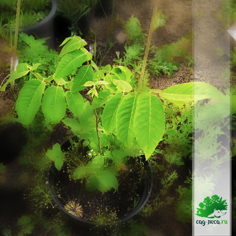 саженцы ореха сердцевидного из семян
