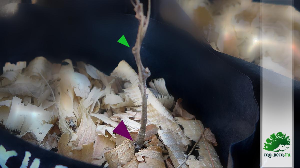 как растет маакия амурская в сибири