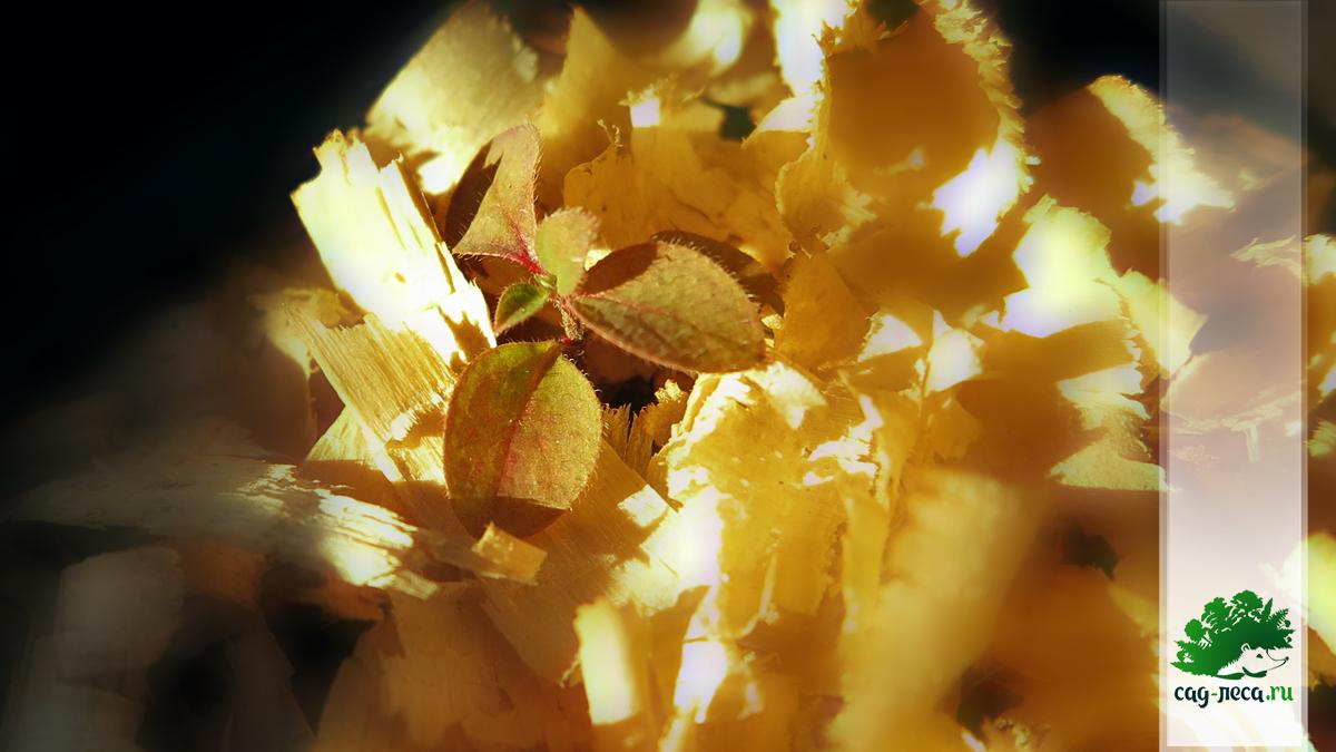 Жимолость Морроу - саженец из семян