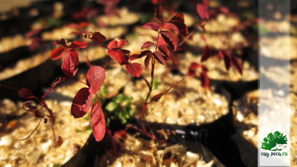 саженец шиповника даурского из семян