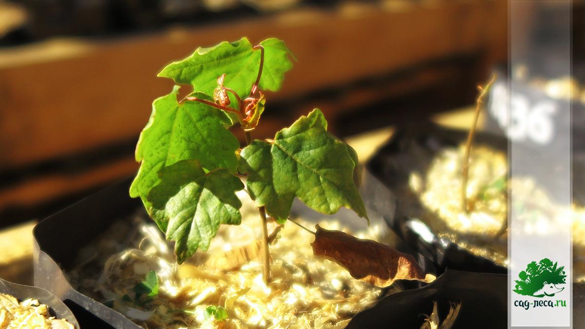 саженец клёна полевого к осени первого года после посева