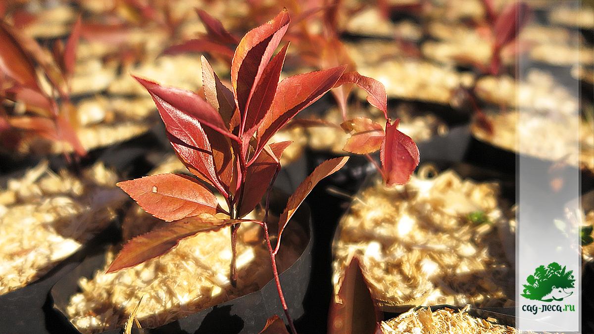 Черемуха виргинская из семян выросла за лето