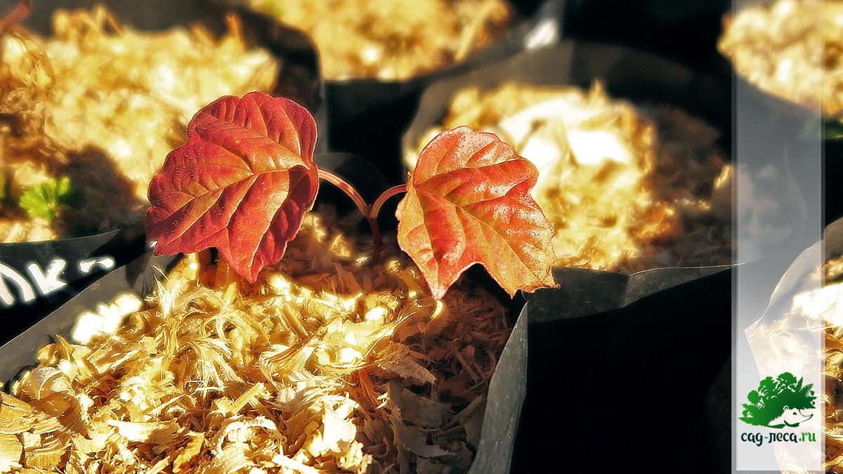 калина саржента саженец из семян