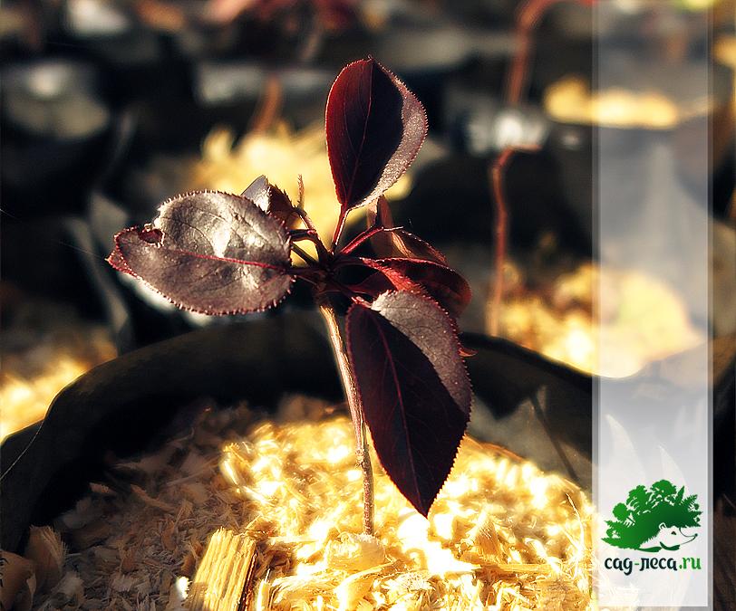 Саженец уссурийской груши из семян осенью