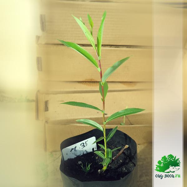 Salix rorida из черенков