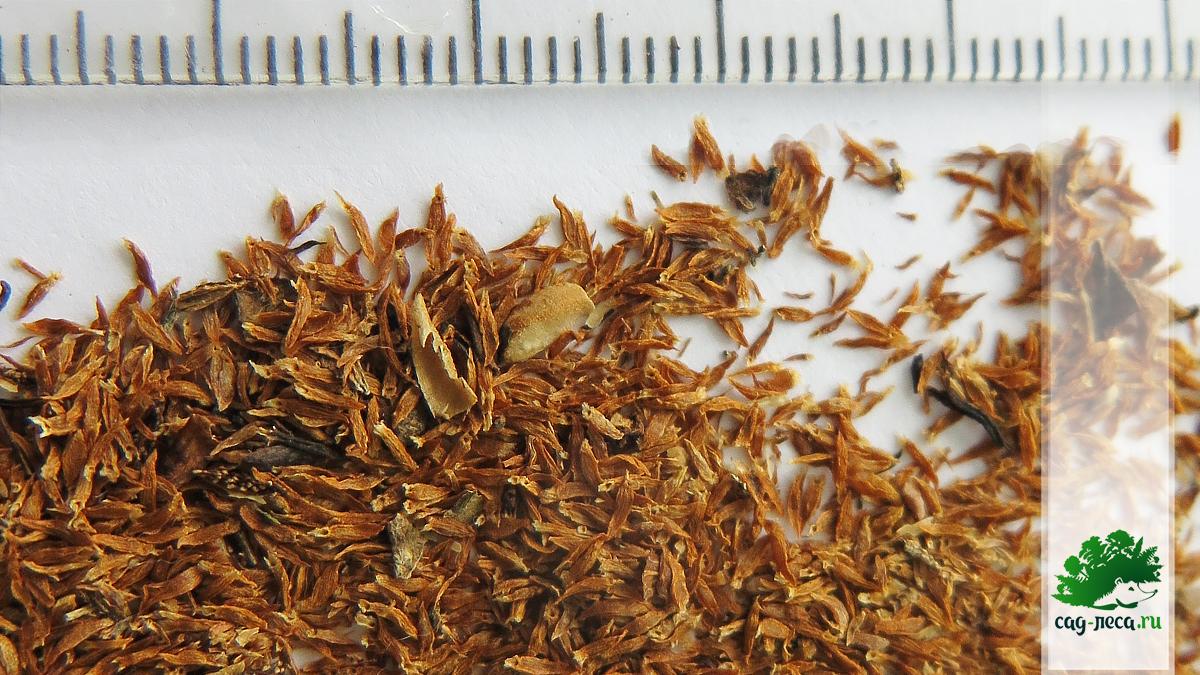 Семена чубушника венечного крупным планом