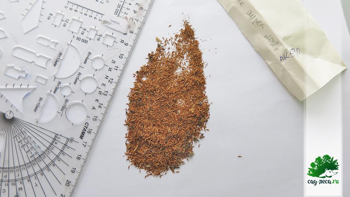 всходы чубушника ауреа из семян