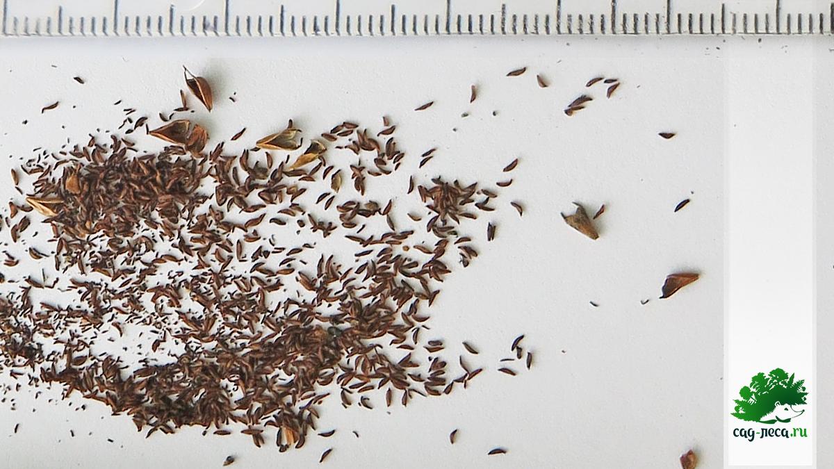 семена спиреи уссурийской через лупу