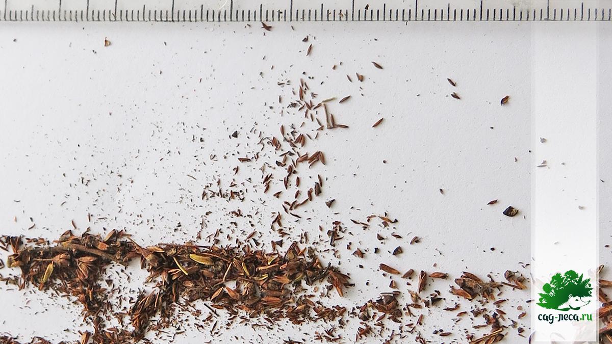 семена длиннопочечной спиреи через лупу