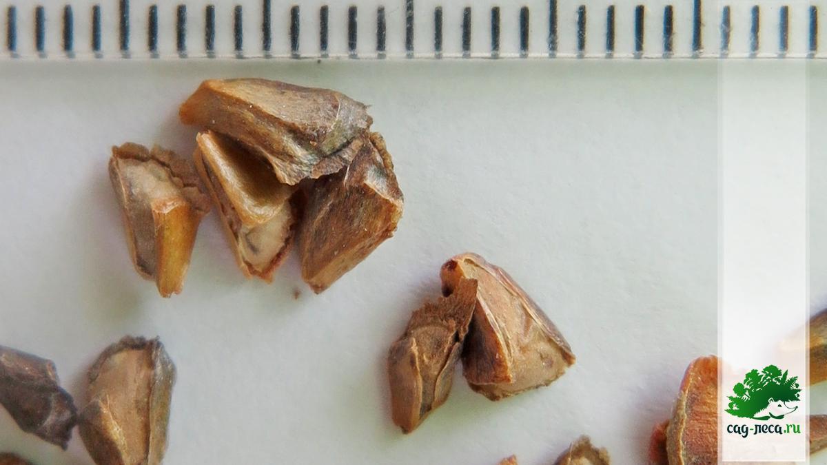 Семена пихты Фразера Abies fraseri для посева на подоконнике