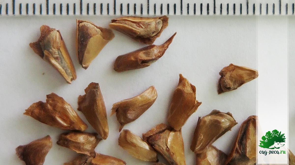 Семена пихты шершавоплодной Abies lasiocarpa размер и фото