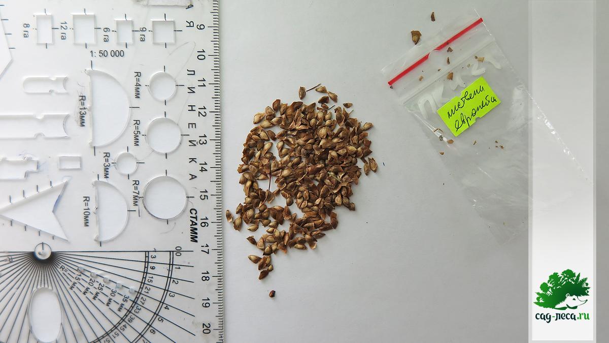 семена лиственницы европейской для посева