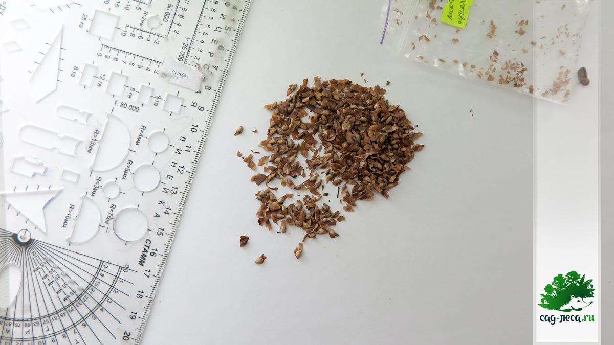Семена лиственницы Сукачева