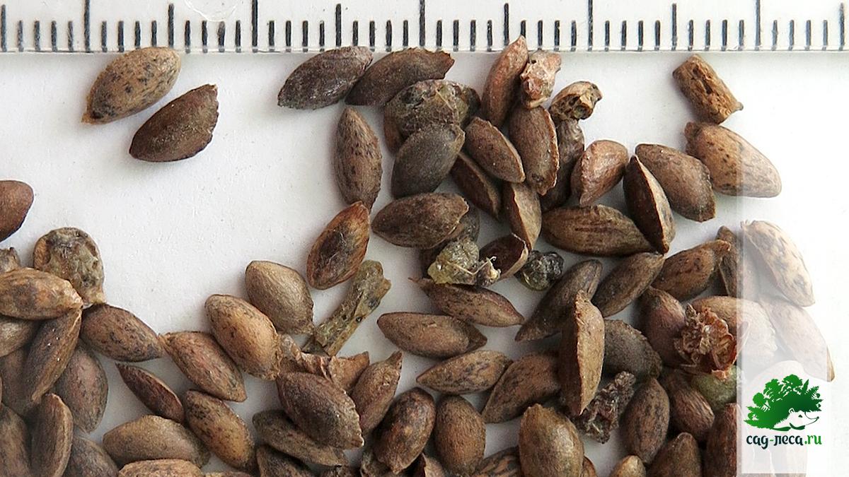 размер семян сосны веймутова