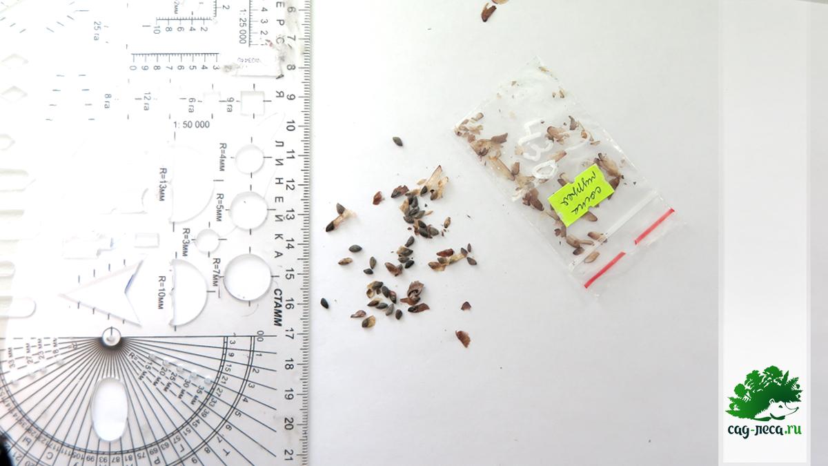 размер семян сосны Муррея