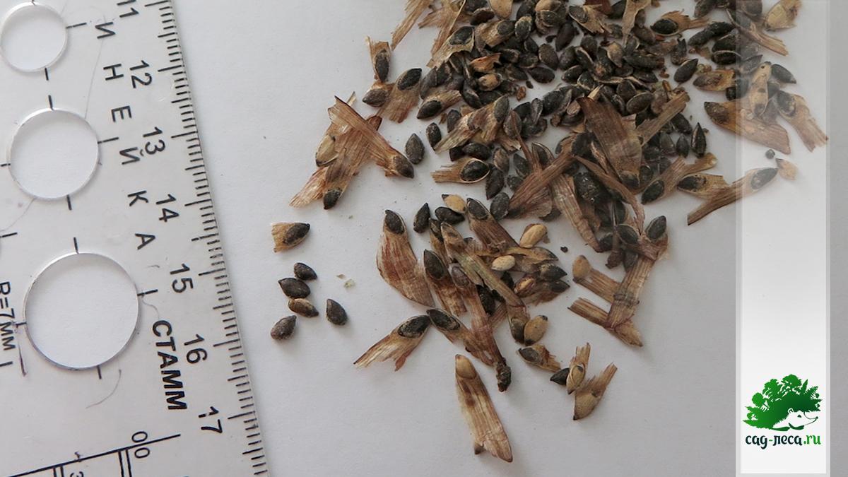 фото семян сосны обыкновенной