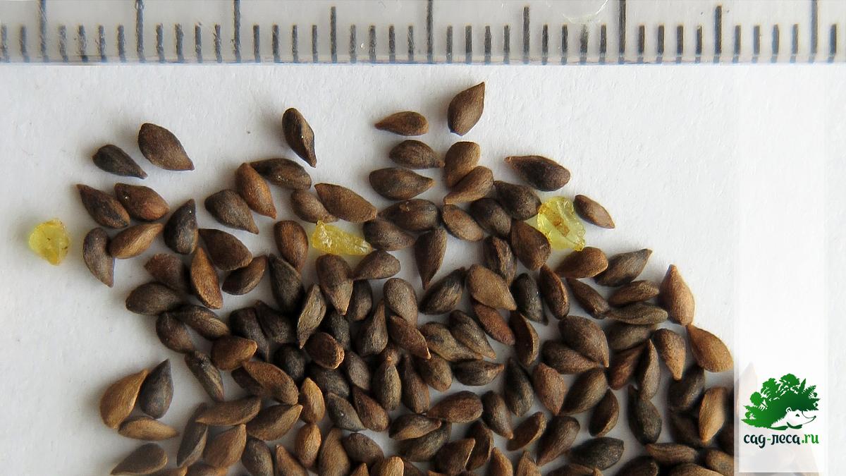 семена ели ситхинской крупным планом