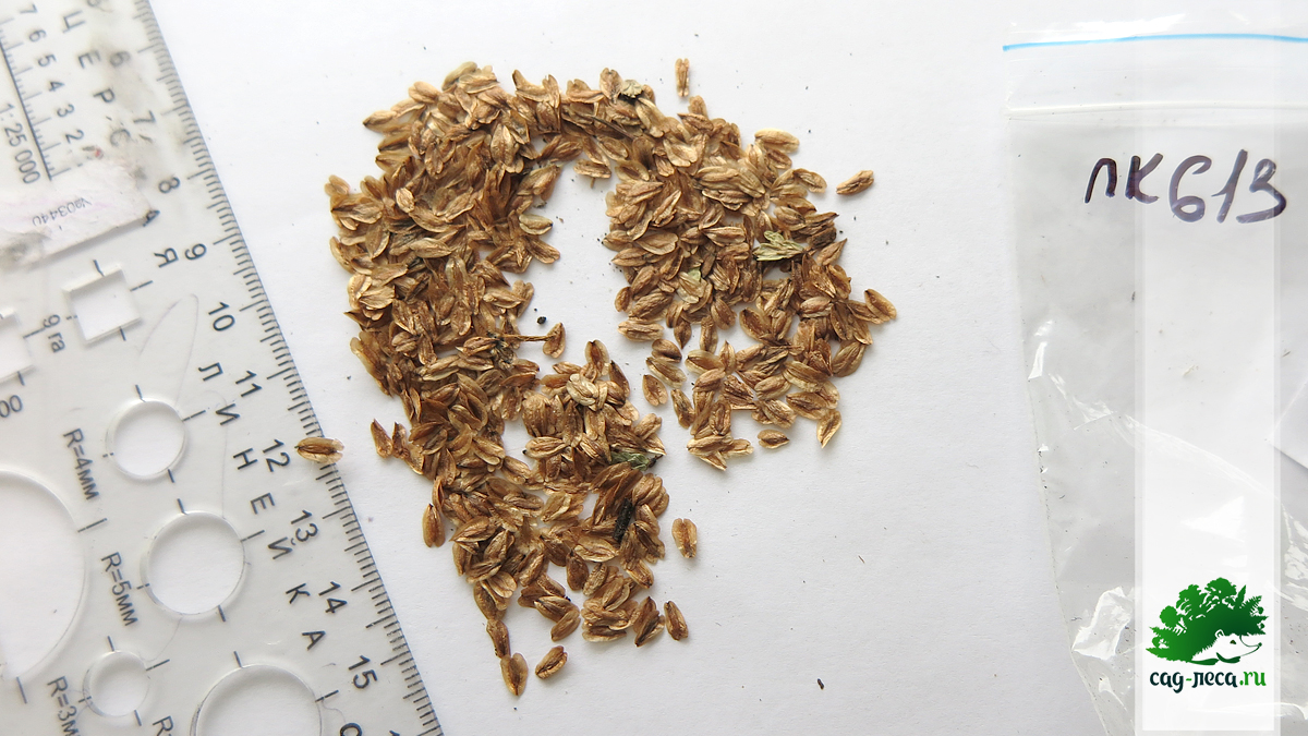 семена туи складчатой ля посева
