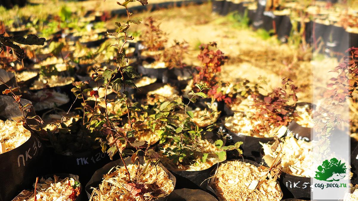 сеянцы спиреи средней осенью в год посева