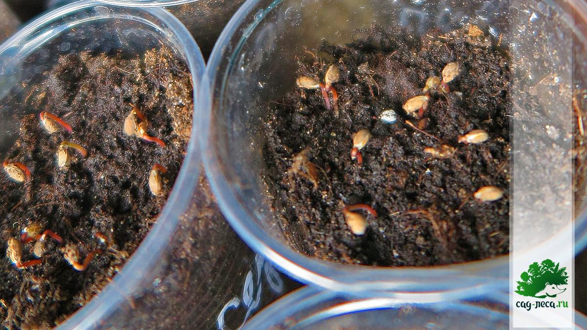 прорастание семян сосны обыкновенной