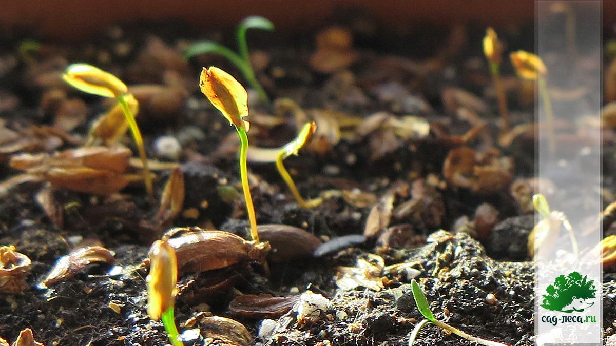 всходы семян туи западной