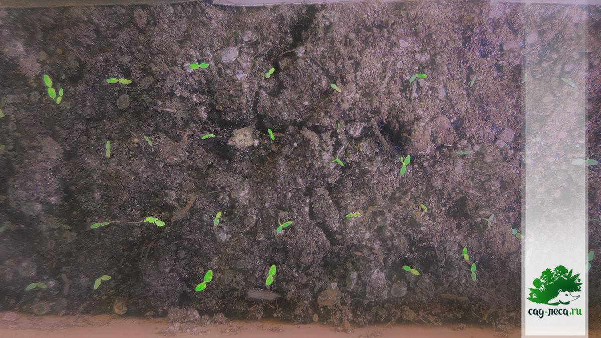всходы спиреи длиннопочечной из семян