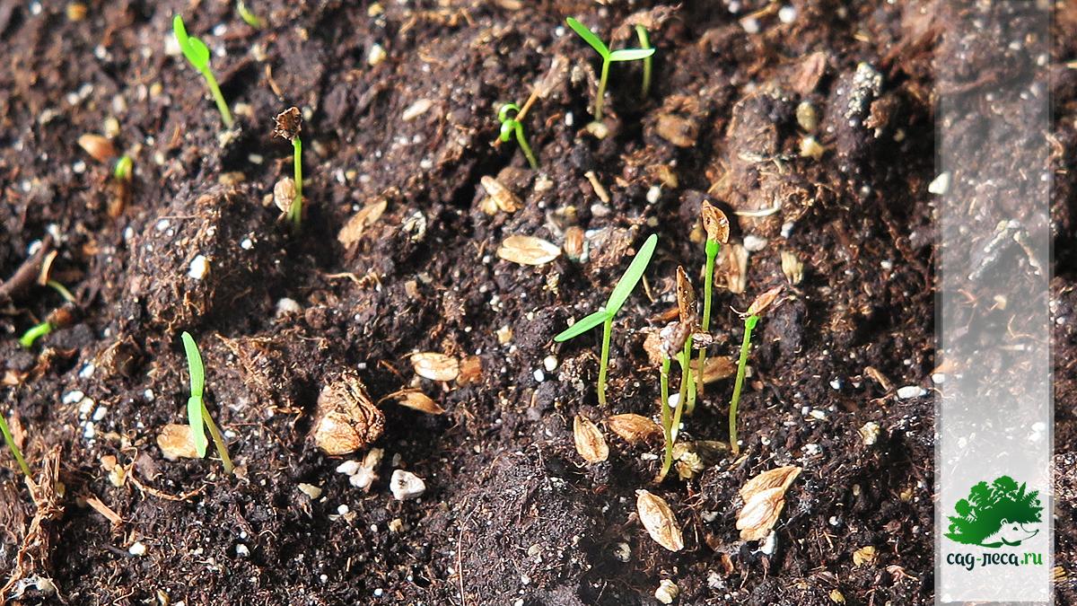 начало прорастания туи из семян