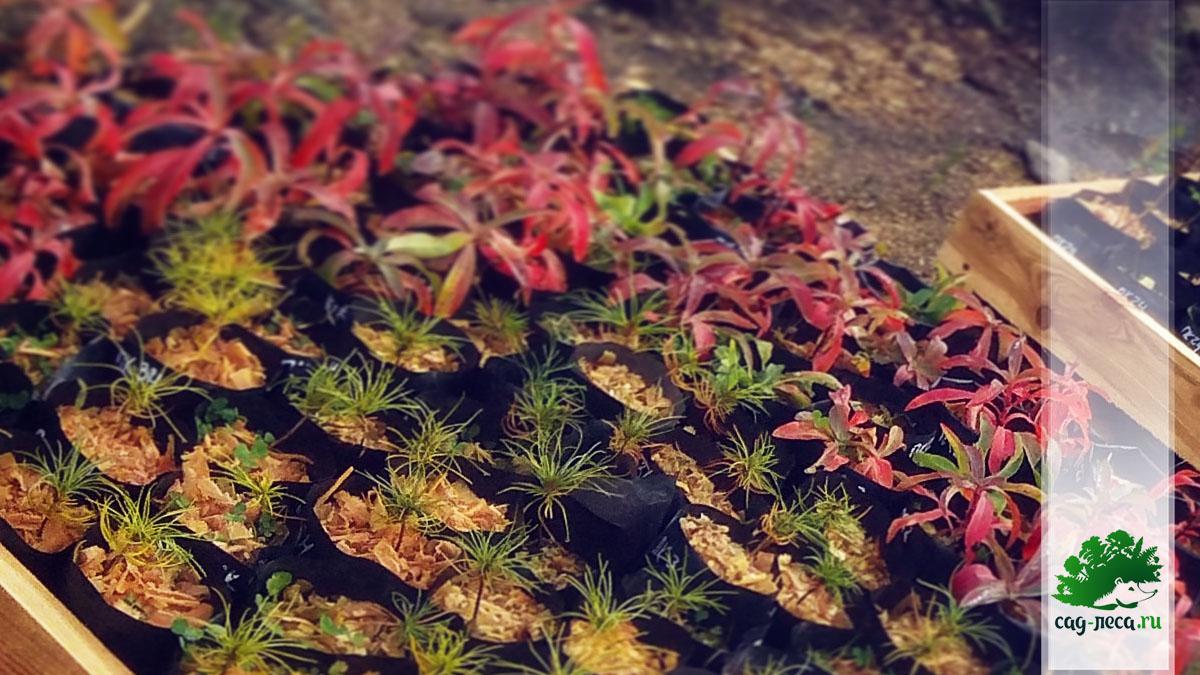 сибирка алтайская осенью