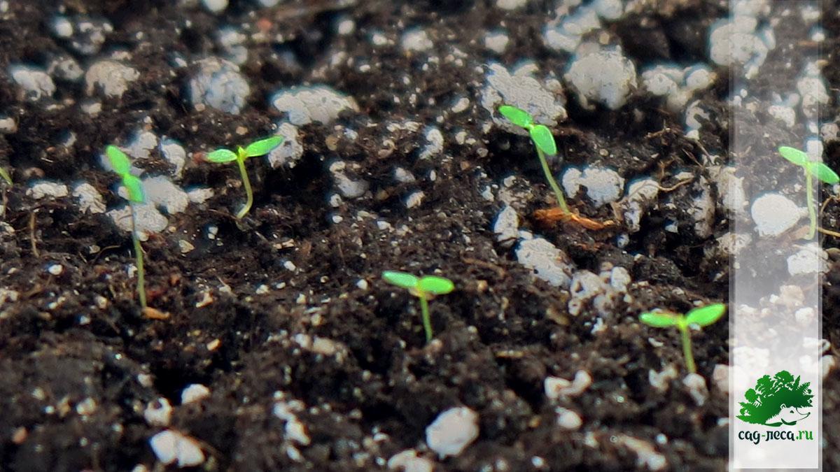 всходы рябинника рябинолистного из семян