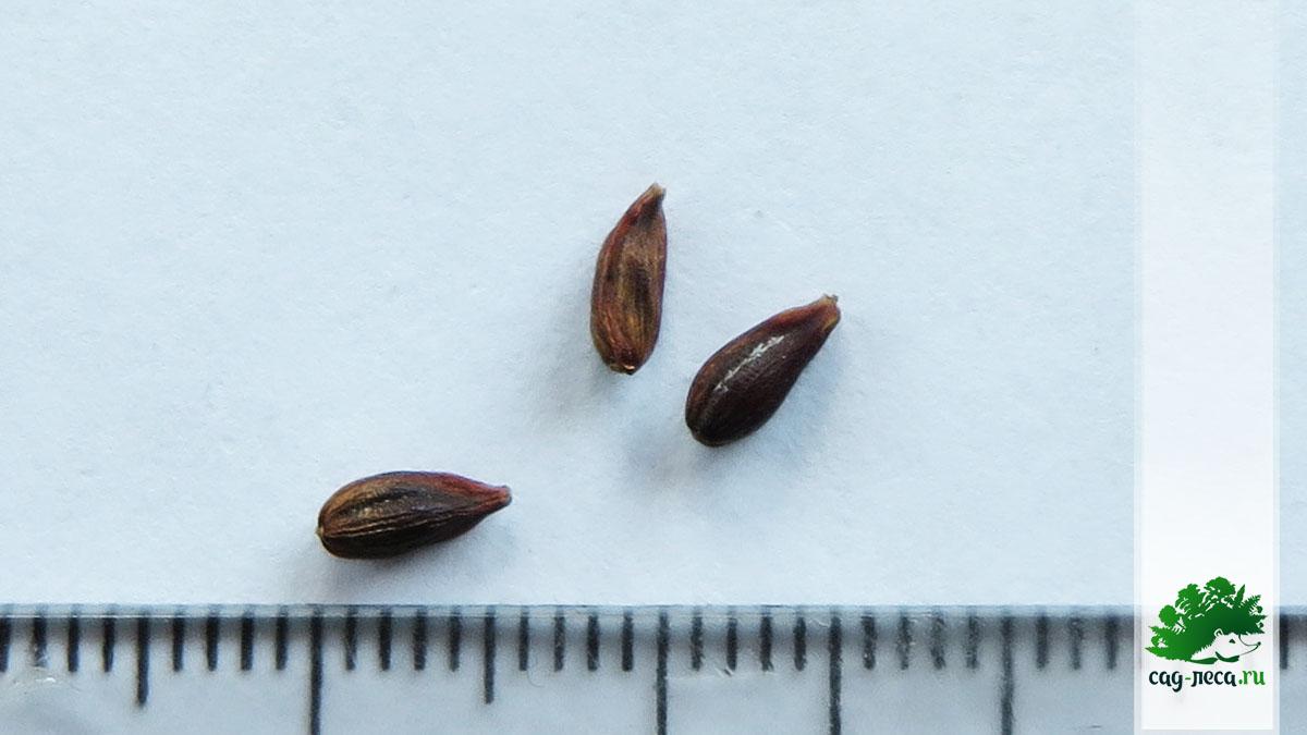 Эфедра рослая семена