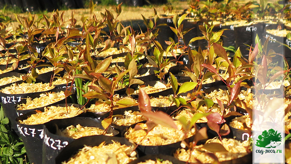 сеянцы черемухи виргинской подрастают
